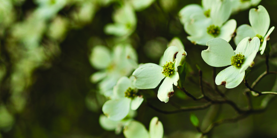 Dogwood flowers on muted background